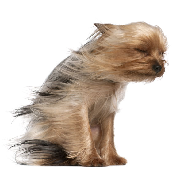 Dog in Strong Wind